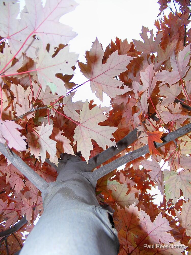 Maple Autumn. by Paul Rees-Jones
