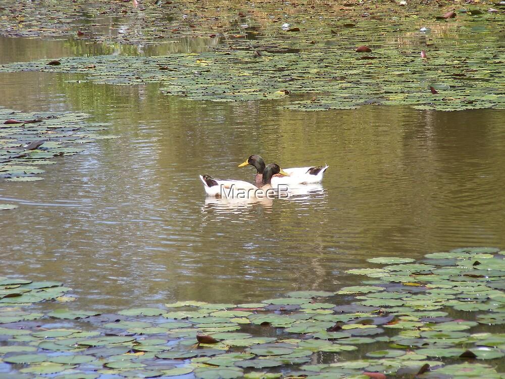 Swimming Ducks by MareeB