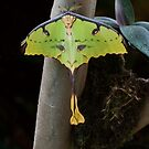 African Moon Moth by Ruth  Jolly