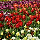 Tulip Show by Penny Smith