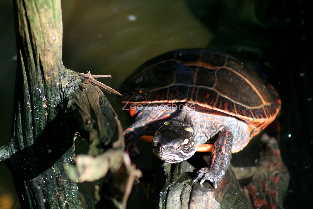 A Red Turtle by ZeeZeeshots