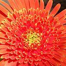 Orange Gerbera by Daniel Rayfield