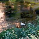 white swan in the river in Musestre - Venice - Italy by alicara