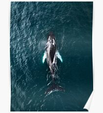 Humpback Whale in Iceland - Wildlife Photography Poster