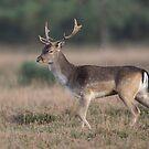 Fallow Buck. by Alan Forder