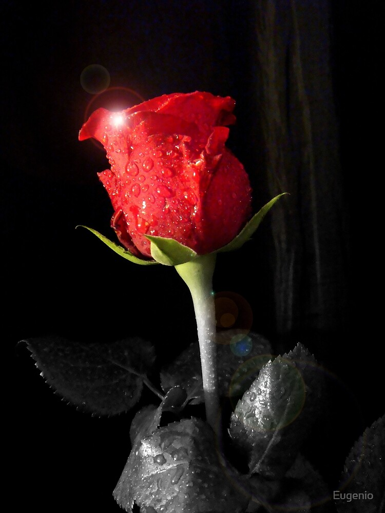 Red Rose 1 by Eugenio