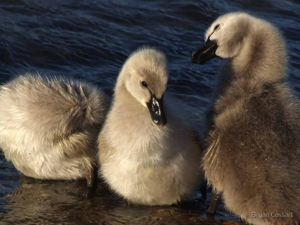 Cute little signets by Bryan Cossart