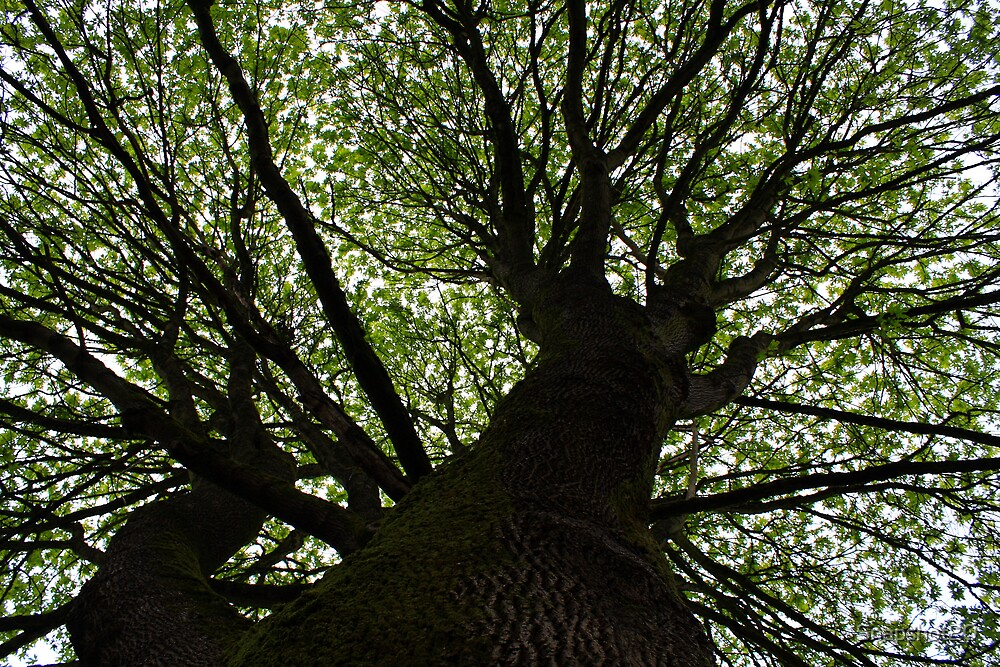 Looking up a Giant Mapel by Snapshot20