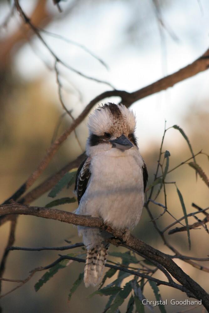 Kookaburra sittin' in the old gumtree by Chrystal  Goodhand