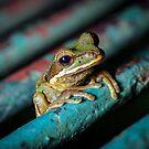 Masked Treefrog on Bridge (Smilisca phaeota) by Dave Huth