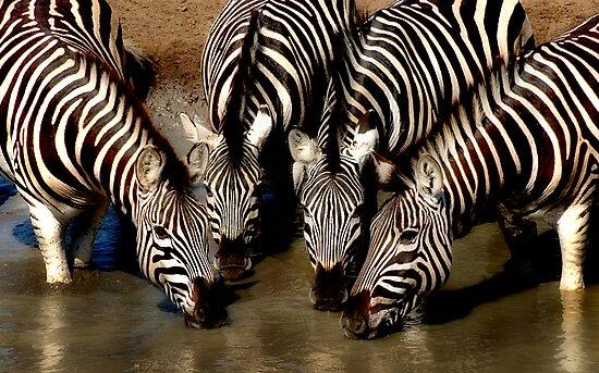 Thirsty Zebra by Sharon Bishop