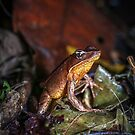 Brilliant Forest Frog at Attention (Rana warszewitschii) by Dave Huth