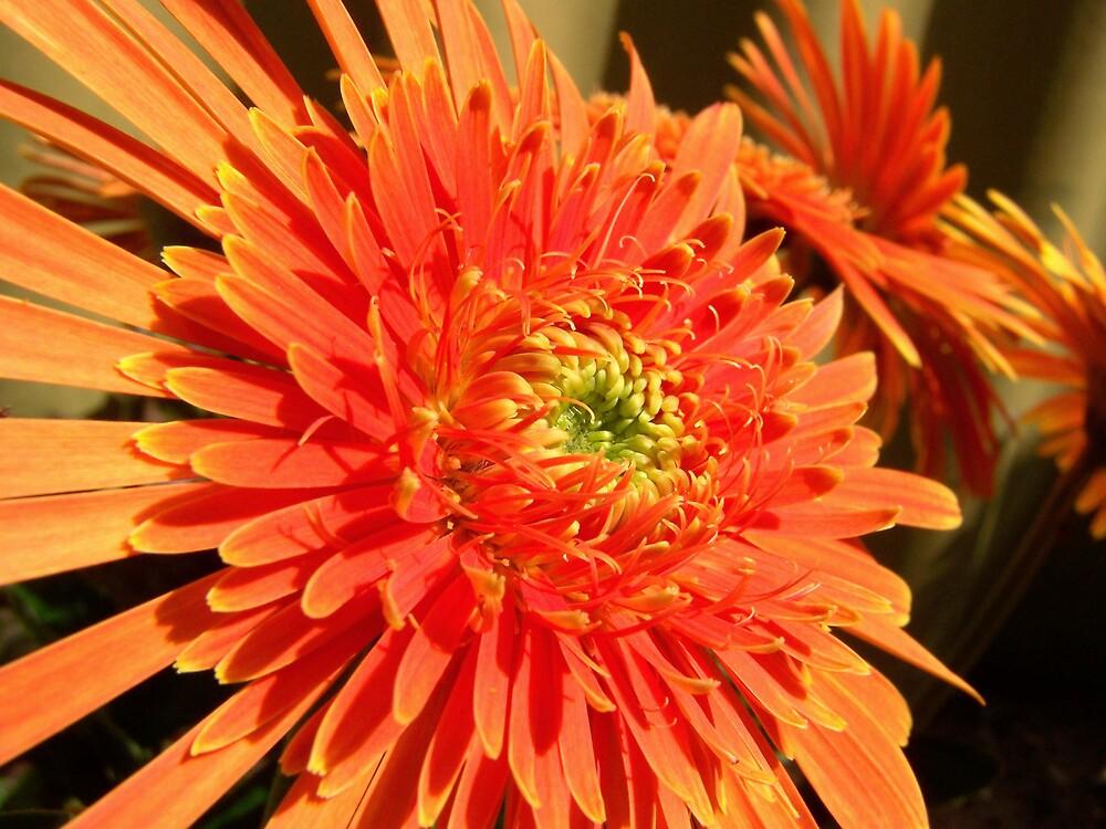 Orange Gerbera #2 by Daniel Rayfield