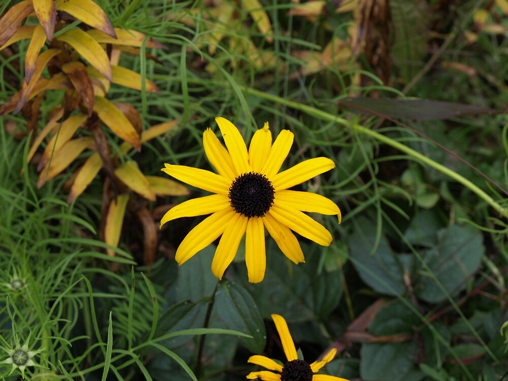 Black Eyed Susan by Kimberly  Dugan