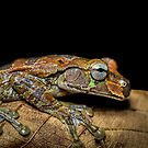 Mexican Treefrog on Leaf (Smilisca baudinii) by Dave Huth