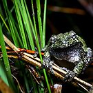 Gray Treefrog among reeds (Hyla versicolor) by Dave Huth