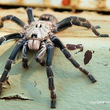 HORNED BABOON SPIDER - Ceratogyrus brachycephalus by mags
