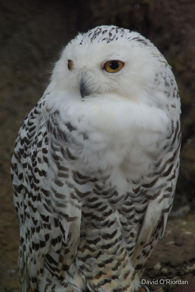 Snowy Owl by David O'Riordan
