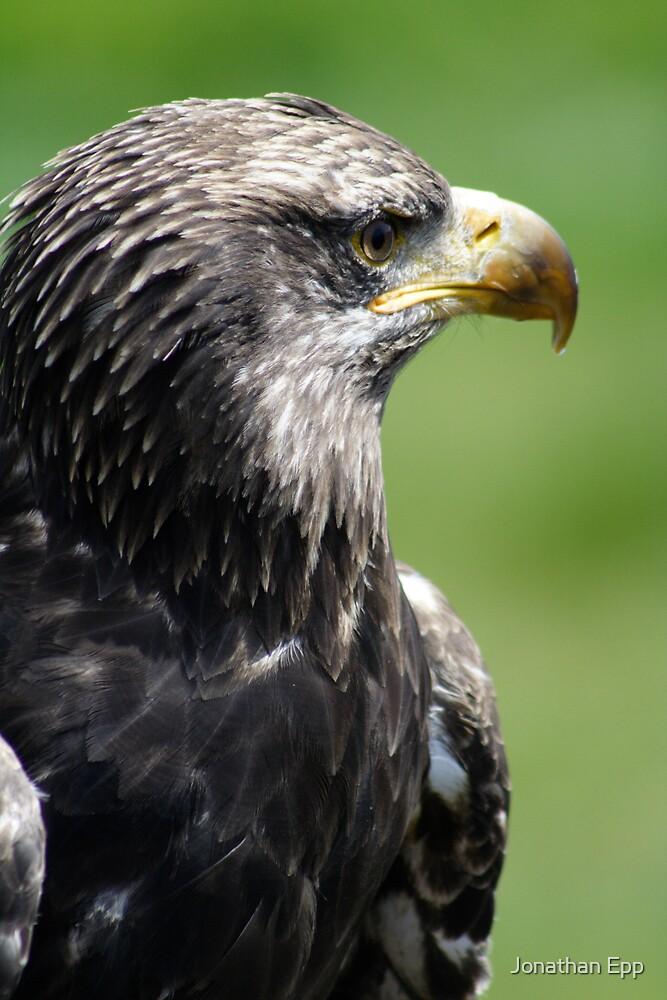 Bald Eagle by Jonathan Epp