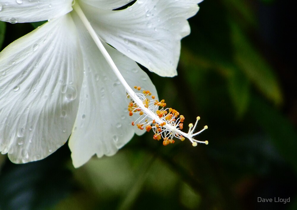 Delicate White by Dave Lloyd