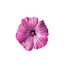 Pink Hibiscus Flower by Sara Sadler
