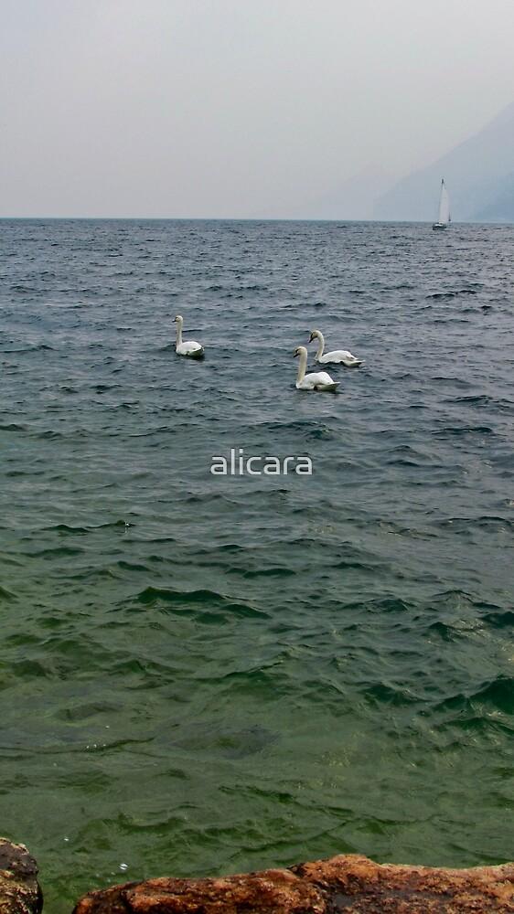 Swans by alicara