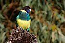 """Australian Ringneck """"Port Lincoln Parrot"""" by Robert Elliott"""