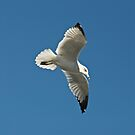 White Seagull by Carolyn Clark