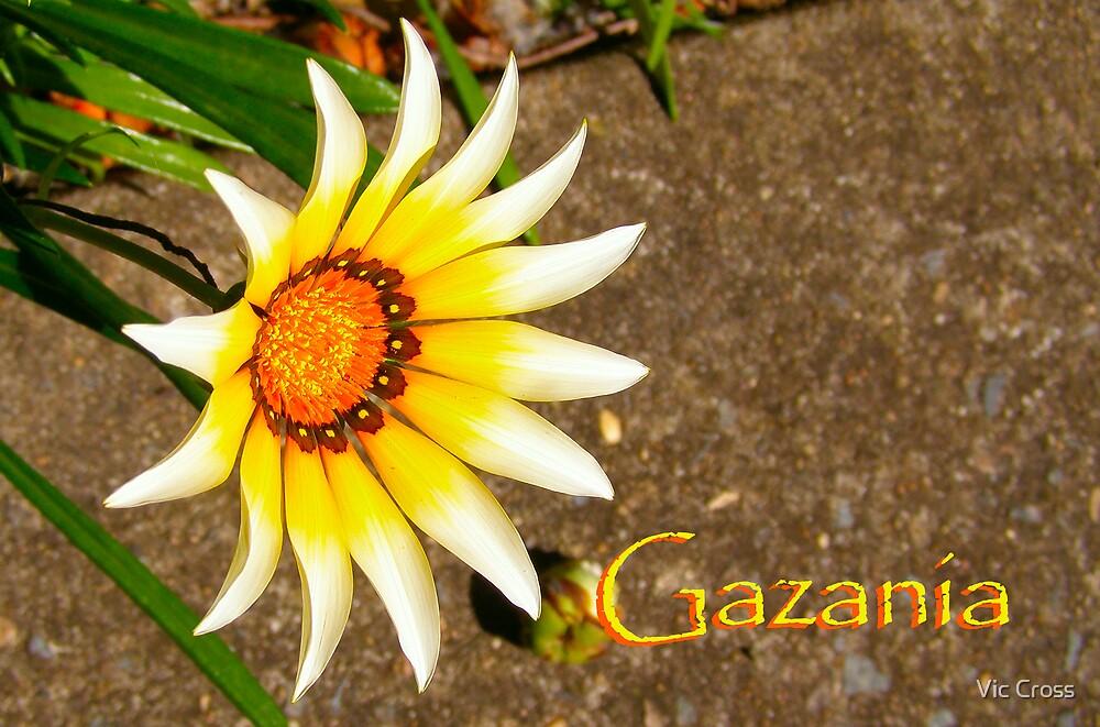 Gazania by Vic Cross