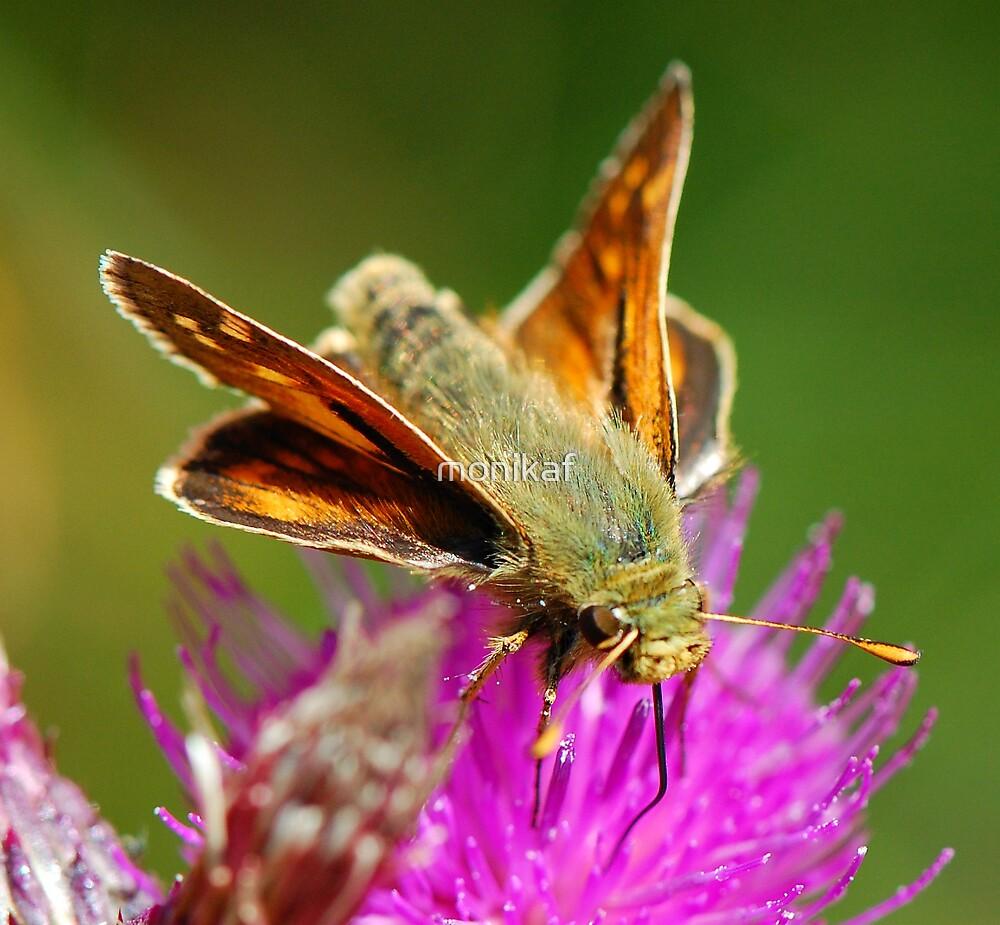 Feeding butterfly by monikaf