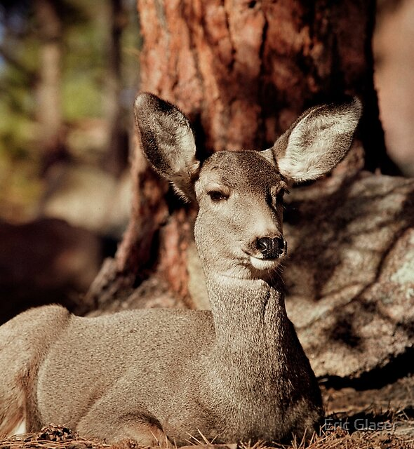 Mule Deer Doe by Eric Glaser