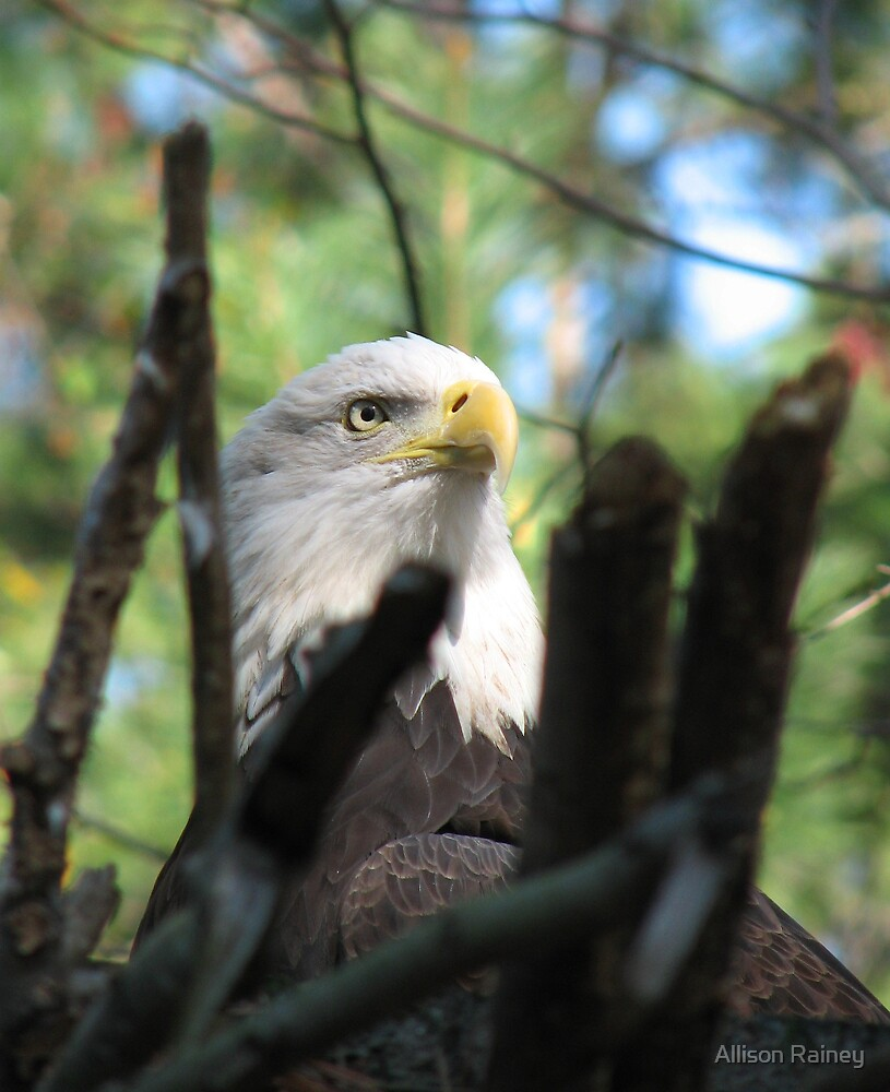 Bald Eagle II by Allison Rainey