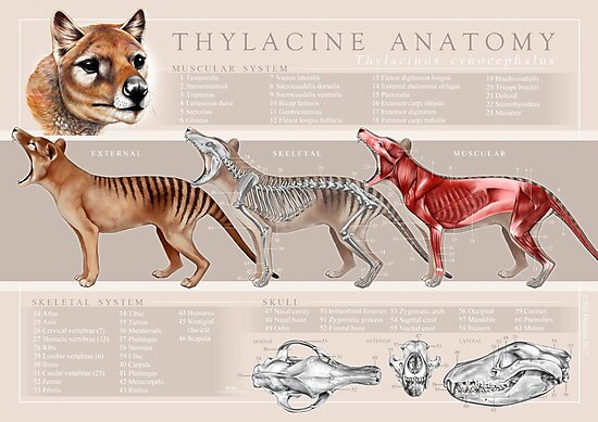 Thylacine Anatomy Poster Photographic Prints By Pip Abraham Redbubble