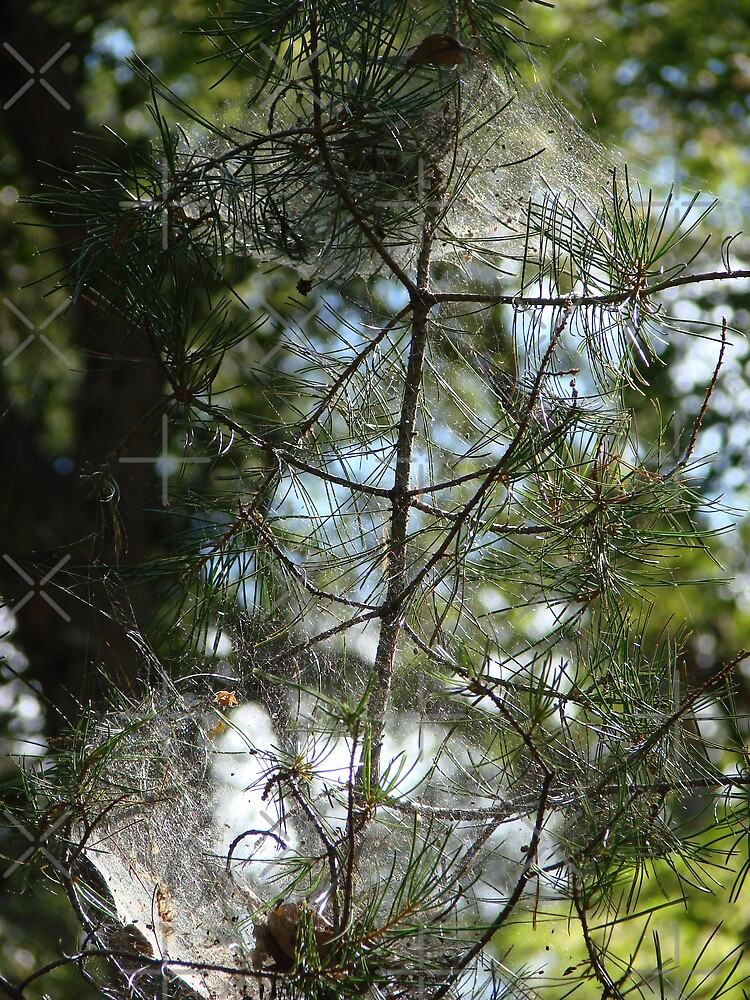 Cobwebs in the Pines by Kimberly Miller