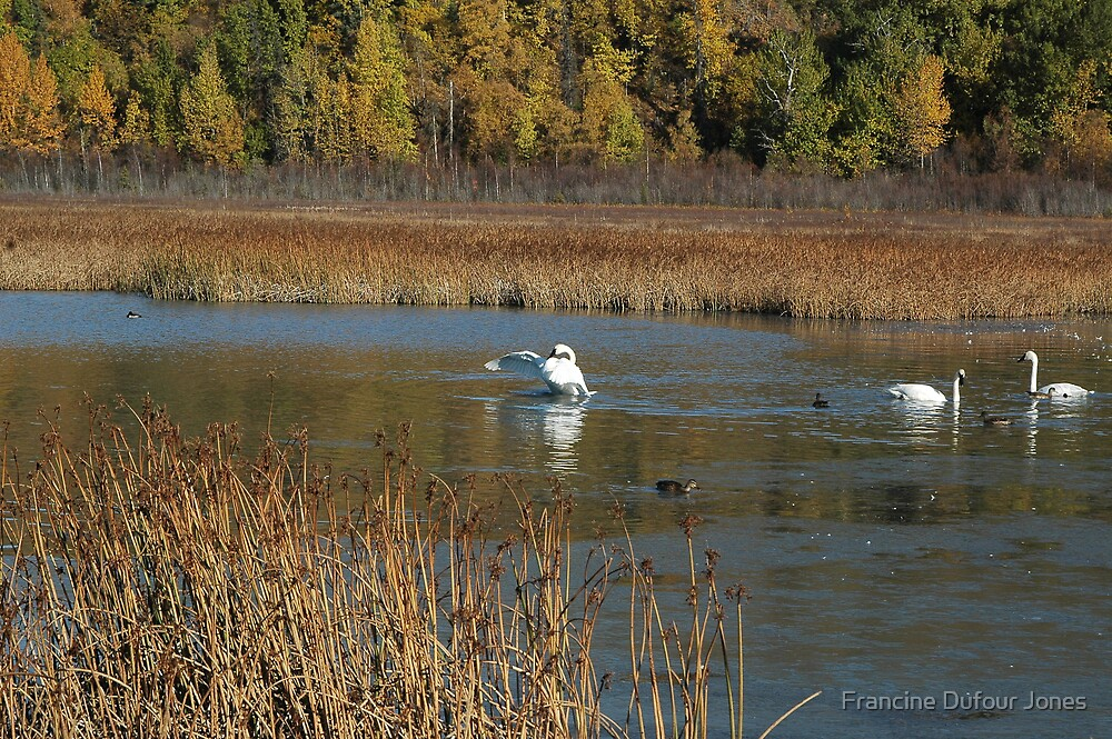 Swans and Duck Getting Ready to Leave for Winter by Francine Dufour Jones