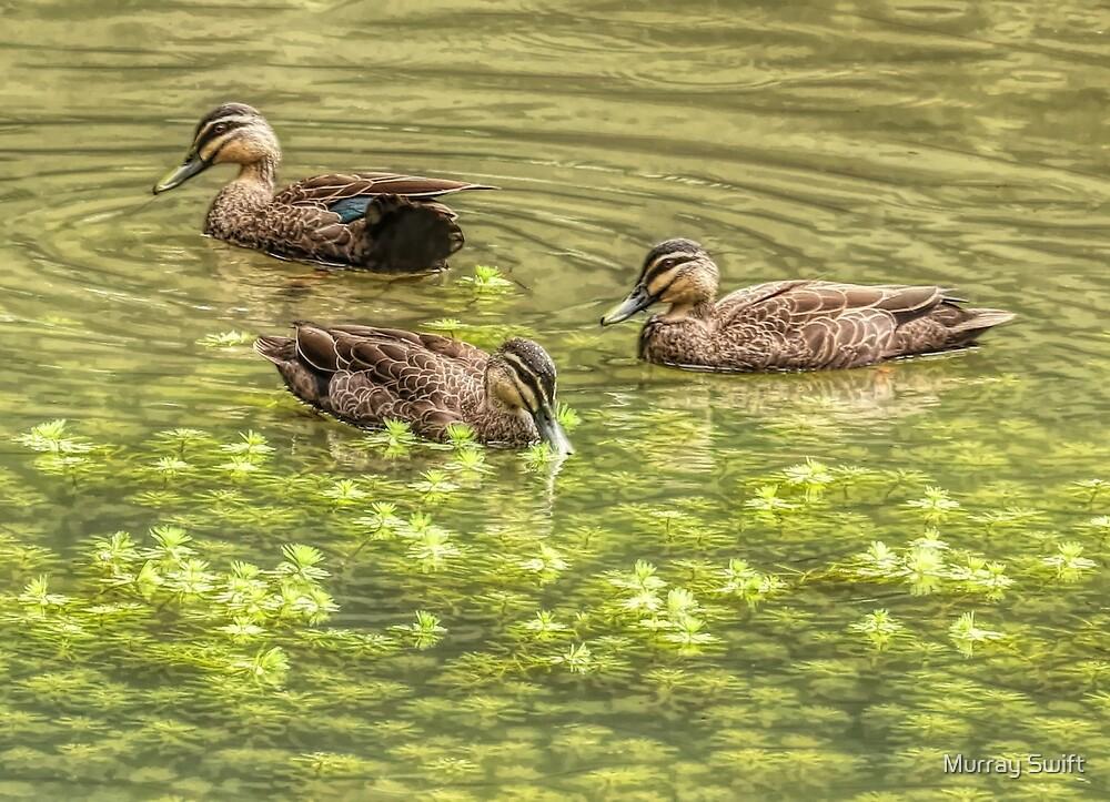 Three ducks by Murray Swift