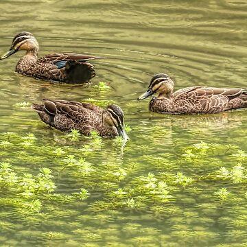 Three ducks by mswift