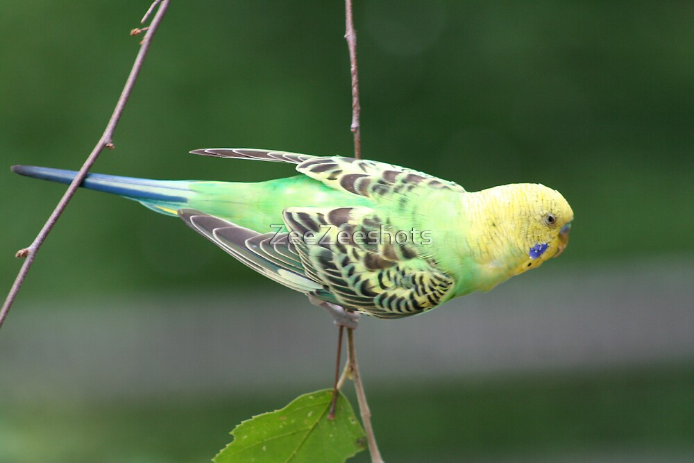 Parakeet #2 by ZeeZeeshots
