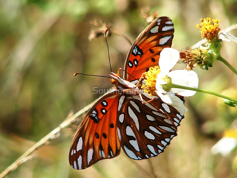 Gulf Fritillary on Spanish Needle flower by Southerngurl