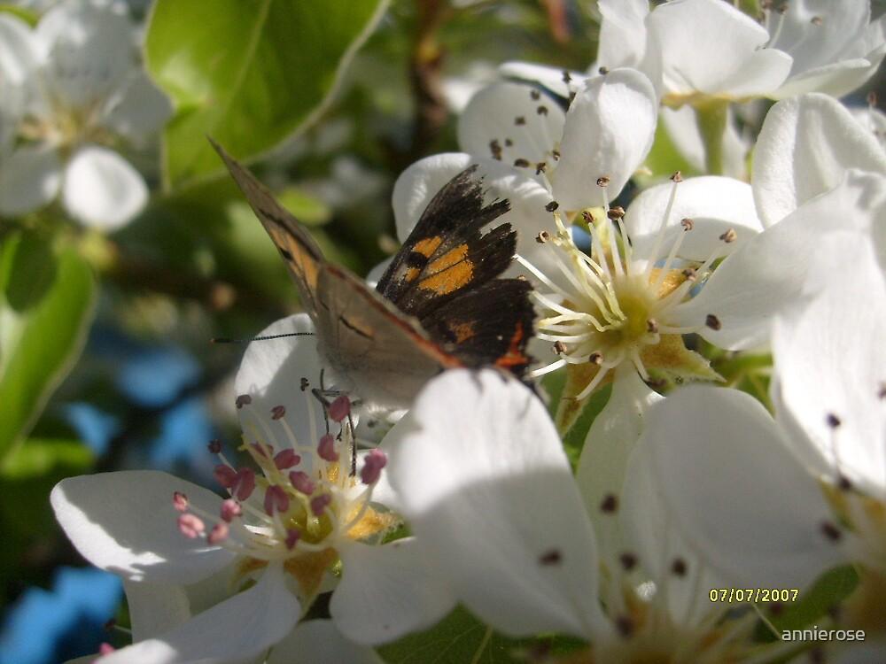 butterfly by annierose