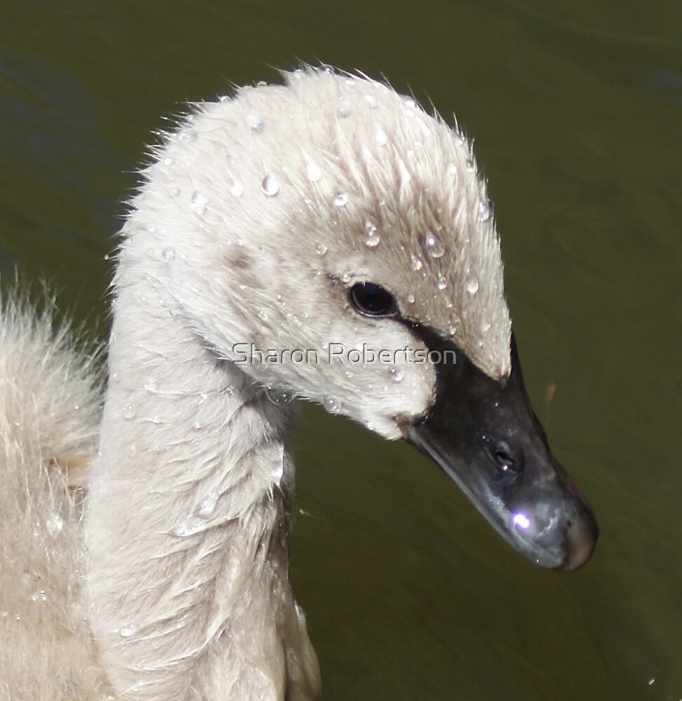 Beauty is in the eye of the beholder, baby Sygnet to become a beautiful Swan... by Sharon Robertson