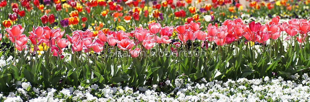 Tulips Along by Sharon Robertson