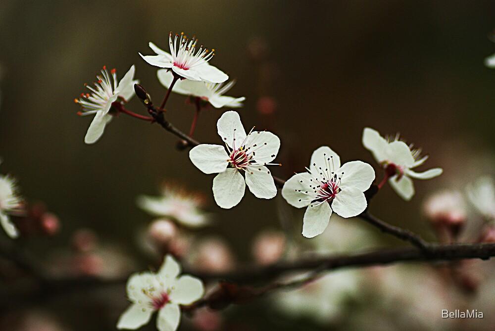 Cherry Blossom by BellaMia