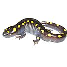 Spotted Salamander - whitebox by Dave Huth