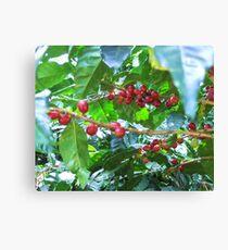 El Salvador #4 - Ripe coffee fruit beans Canvas Print