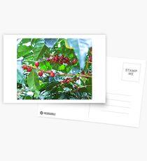 El Salvador #4 - Ripe coffee fruit beans Postcards