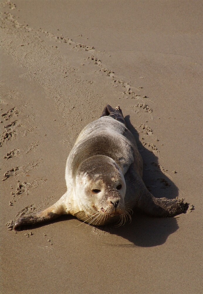 Harbor Seal by Judy Olson