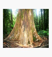 The Big Boy ( Mountain Ash Tree)  Photographic Print