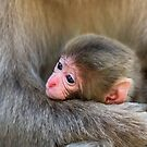 Infant Macaque at Snow Monkey Park. Japan by Petr Svarc