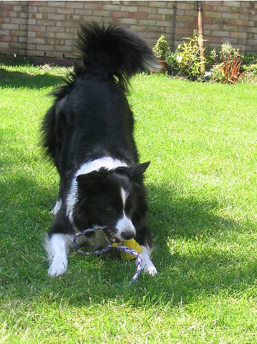 Border collie playing by Rachel Molloy